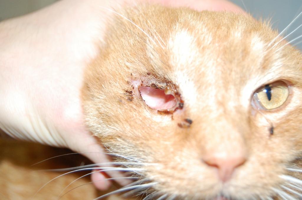 Конъюнктивит у котенка чем лечить в домашних условиях