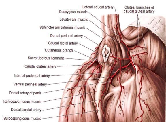Анатомия промежности кобеля
